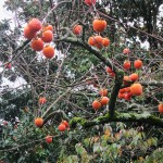 persimmons in dec