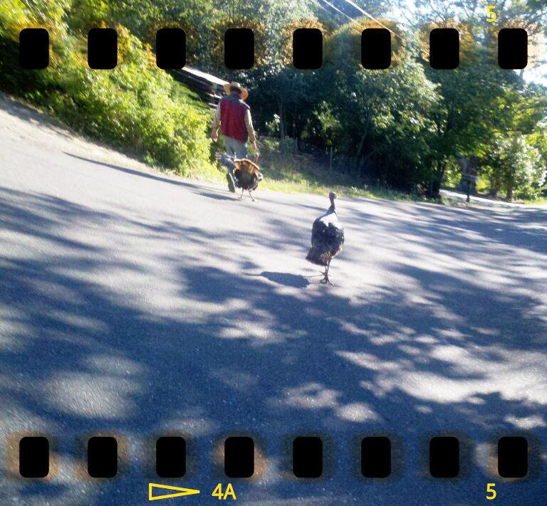turkeys chasing man