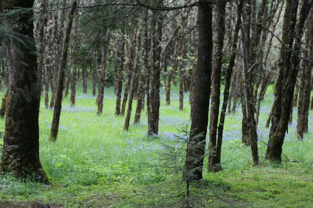 field of camas