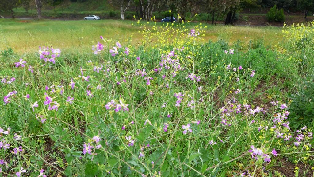 musard in field