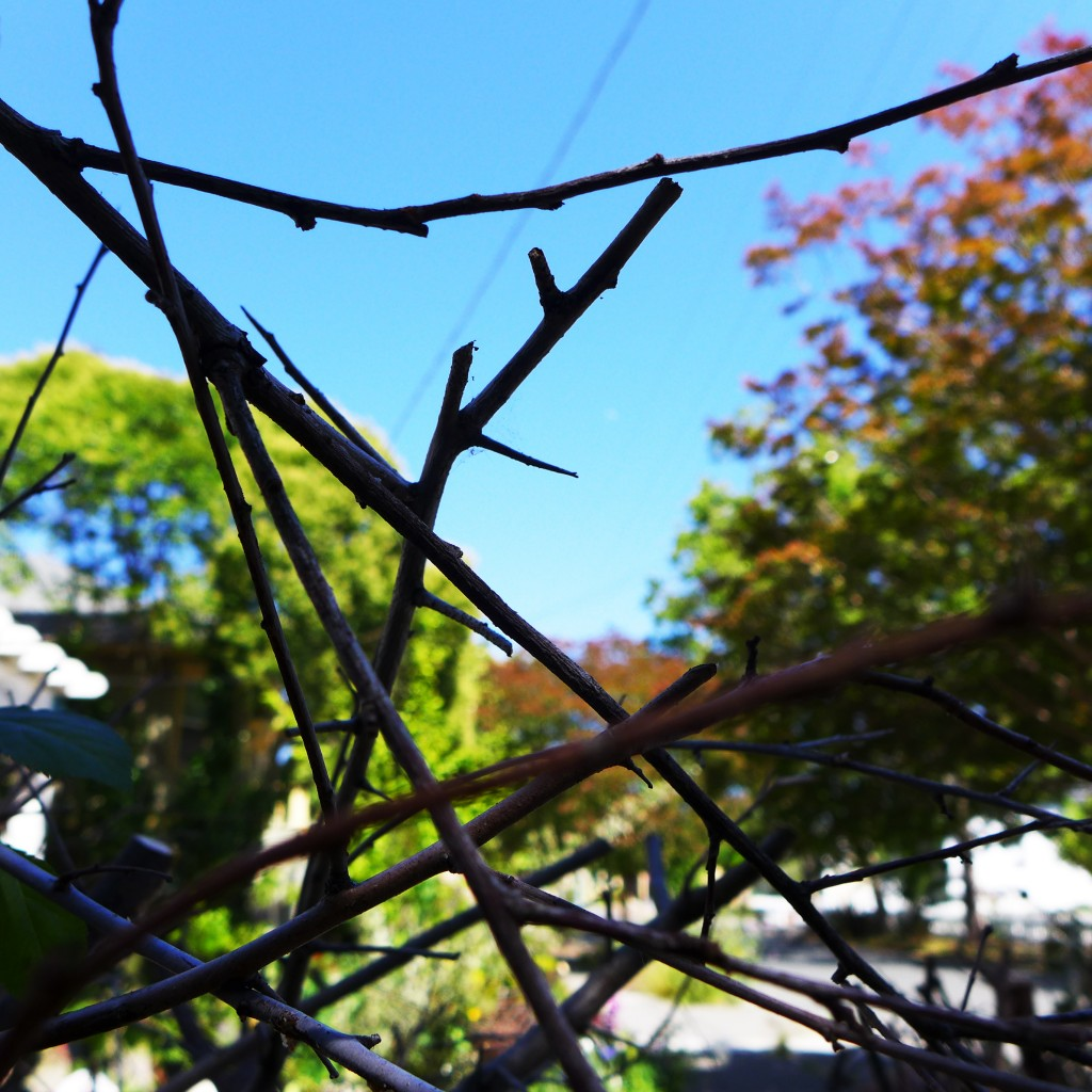 original thorn