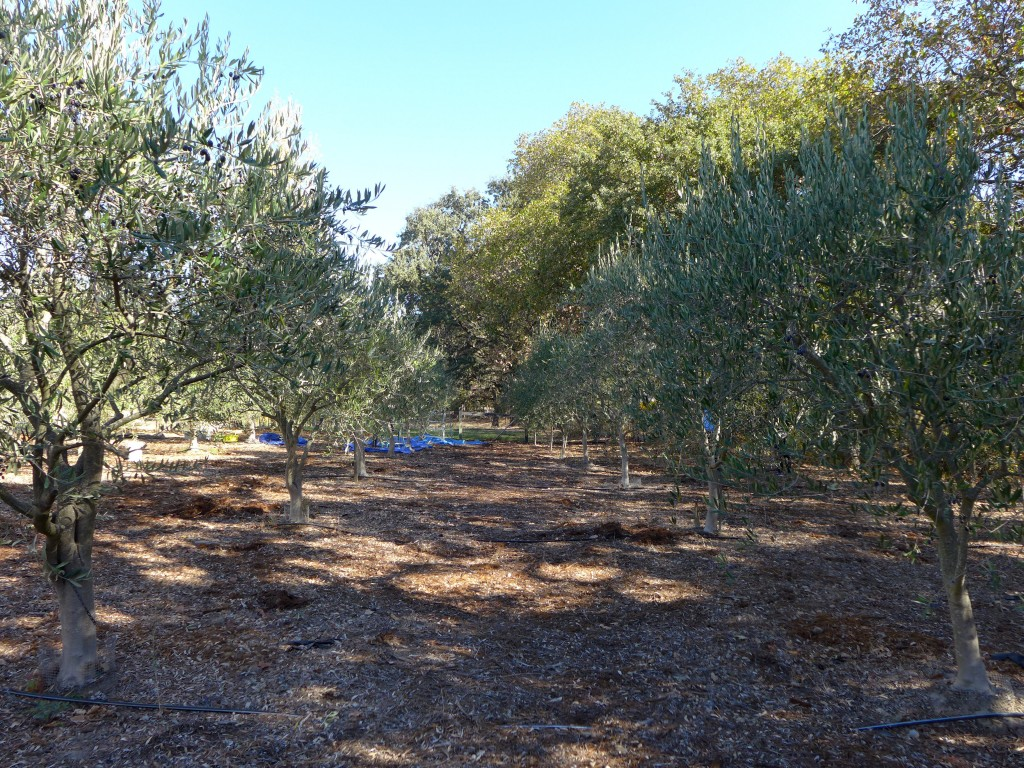 dad's olive grove