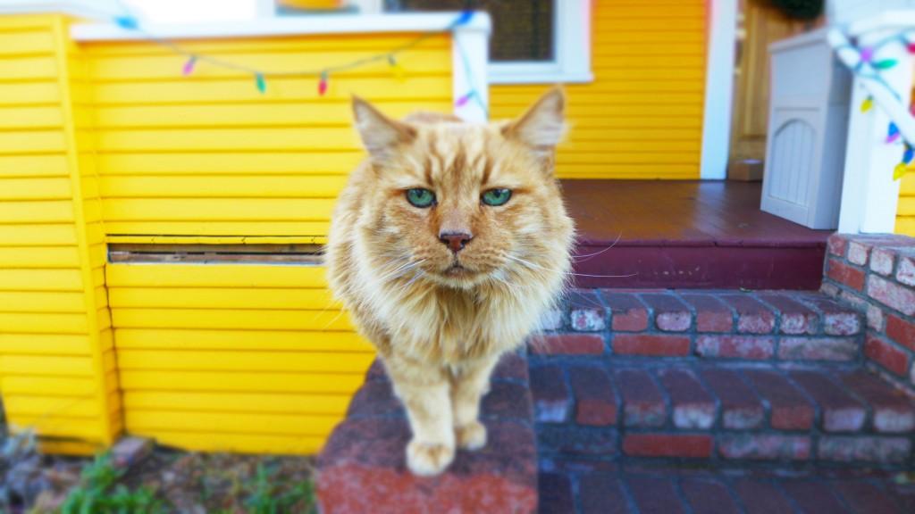 orange tabby saying hi