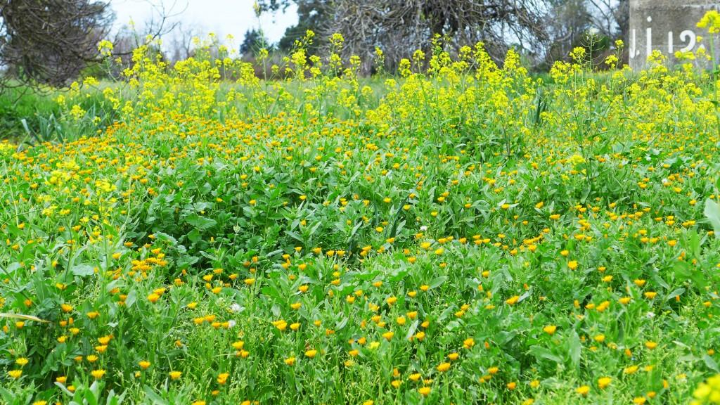 chrysanthemum and mustard