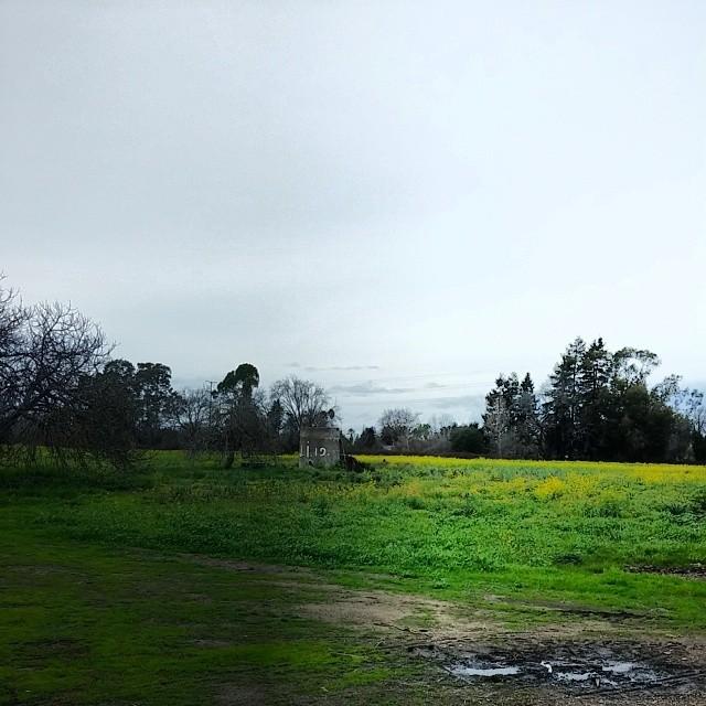 mustard in field