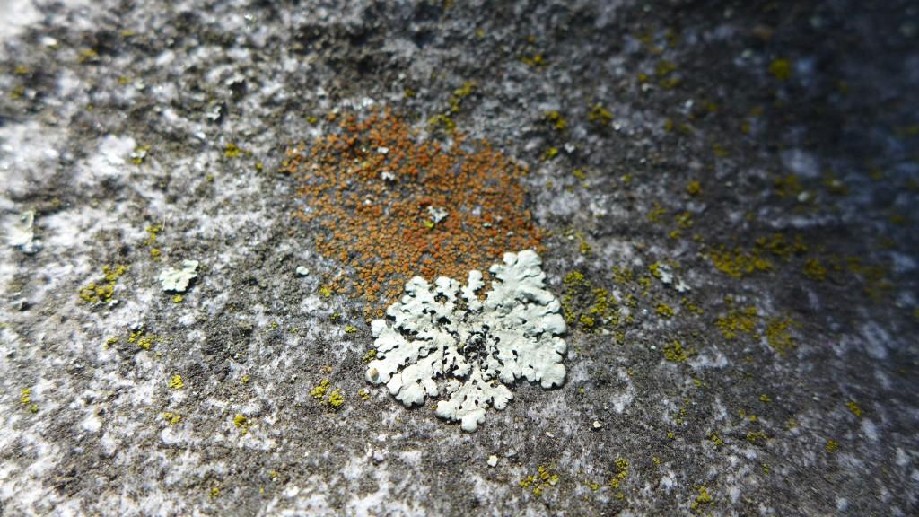 colorful grave lichen