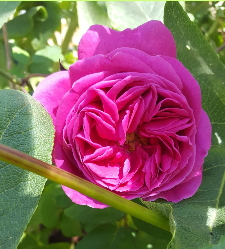 I want this rose